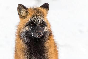 Portrait of Cross fox, Churchill, MB, Canada.