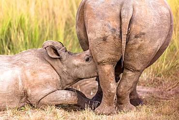 White Rhinoceros (Ceratotherium simum), Young rhinoceros sucking his mother. Sabi Sand, South Africa
