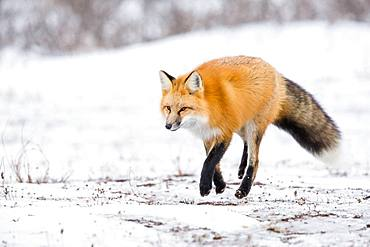 Red fox (Vulpes vulpes) walking in the toundra, Churchill, MB, Canada.