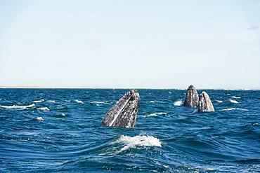 Gray whale (Eschrichtius robustus) Baja California. Mexico.
