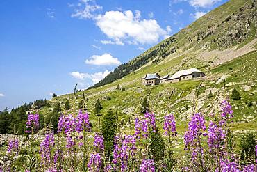 The Sanctuary of the Madonna of Fenestre (1904m), Fireweed (Epilobium angustifolium), Valley of the Madonna of Fenestre, Haute-Vesubie, Mercantour National Park, Alpes-Maritimes, France
