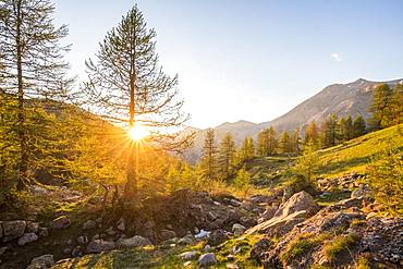 Sunset on the larches near Lake Allos (2226 m), Haut-Verdon, Mercantour National Park, Alps, France