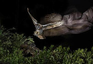Tawny Owl (Strix aluco) hunting in flight at night, Salamanca, Castilla y León, Spain