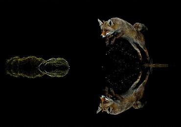 Red fox (Vulpes vulpes) jumping at night, Spain
