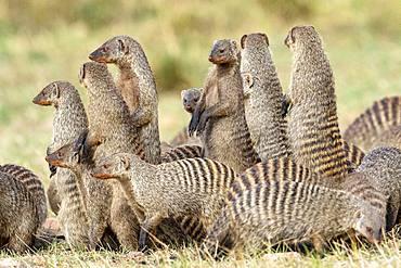 Banded Mango (Mungos mungo), troop on alert, Masai-Mara Reserve, Kenya