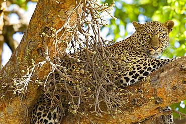Leopard (Panthera pardus), female at rest, Masai-Mara National Reserve, Kenya