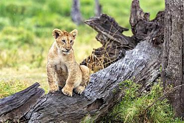 Lion (Panthera leo), lion cub on a dead tree, Masai-Mara Reserve, Kenya