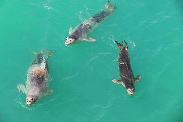 Monk Seal (Monachus monachus) group swimming, Noadibou, Mauritania