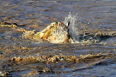 Nile Crocodile (Crocodylus niloticus) attacking a young Buechell's Zebra (Equus quagga burchellii) during the crossing of the Mara River, Masai Mara, Kenya