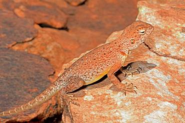 Central netted dragon (Ctenophorus nuchalis), King Canyons, NT, Australia