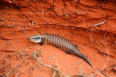 Centralian Blue-Tongued Skink (Tiliqua multifasciata, Mount Conner Red Center, NT, Australia