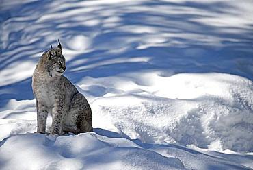 Eurasian lynx (Lynx lynx) in the snow