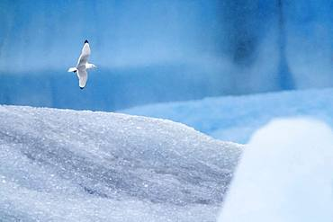 Black-legged Kittiwake (Rissa tridactyla), adult in flight among icebergs, Northeastern Region, Iceland