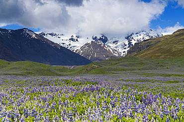 Icelandic landscape, field of Nootka Lupine with snowy mountains in the background, Southern, Region Iceland