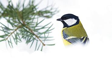 Great Tit (Parus major), adult standing in the snow, Campania, Italy