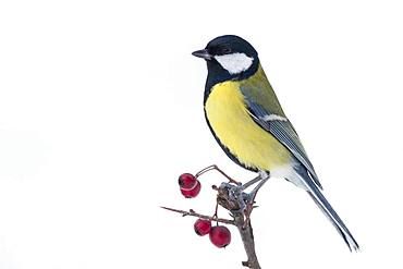 Great Tit (Parus major), adult perched on hawthorn branch with berries, Campania, Italy