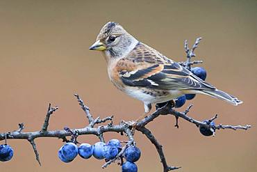 Brambling (Fringilla montifringilla), adult perched on a Bluethorn branch, Campania, Italy