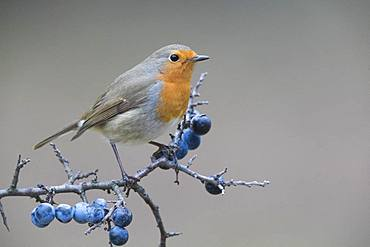 European Robin (Erithacus rubecula), adult standing on a Blackthorn branch, Campania, Italy