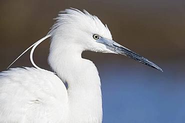 Little Egret (Egretta garzetta), adult close-up, Campania, Italy