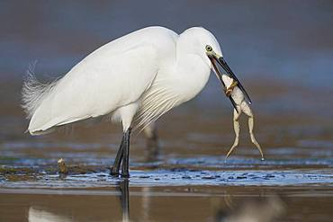 Little Egret (Egretta garzetta), adult with a caught frog, Campania, Italy