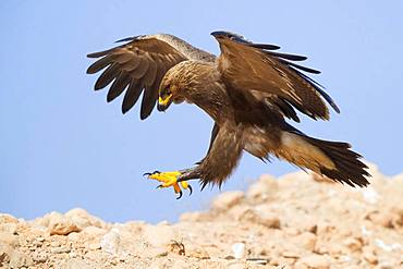Lesser Spotted Eagle (Aquila pomarina), juvenile landing on the ground, Dhofar, Oman