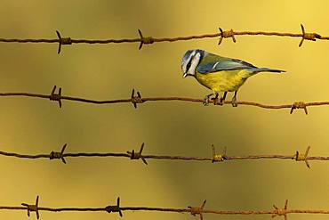 Blue tit (Cyanistes caeruleus) perched on a barbed wire, England
