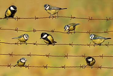 Blue tit (Cyanistes caeruleus) and Great tit (Parus major) perched on a barbed wire, England