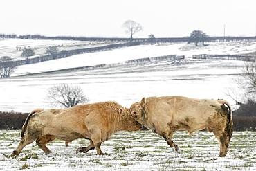 Cattle (Bos taurus) bull fighting in a snow covered meadow, England
