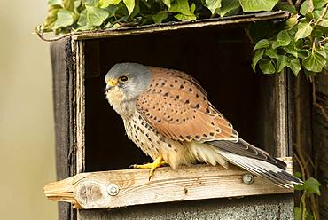 Kestrel (Falco tinnunculus) perched inside a nestbox, England