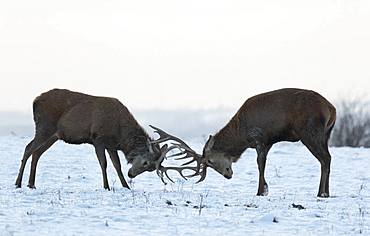 Red deer (Cervus elaphus) stag play fighting in the snow, England