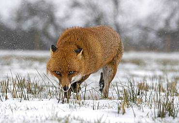Red fox (Vulpes vulpes) wlaking in the snow, England