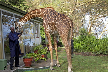 Elsamere staff member poses with Eric a person-friendly giraffe at Elsamere Naivasha Kenya