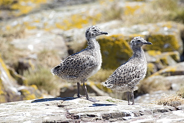 Lesser black-backed gull (Larus fuscus) young chicks, Farne Islands, Northumberland, UK