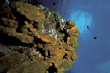 Dactylospongia metachromia, Rangiroa, French Polynesia