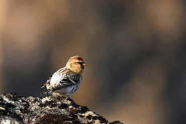 Common Redpoll (Acanthis flammea) on rock, GreenlandIt is one of the four sparrows that makes the great migration and thus crosses the Greenland Sea to nest in the recessed places of Greenland.