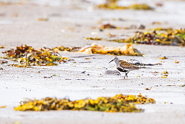 Dunlin (Calidris alpina) feeding in the mud, Varanger Park, Norway