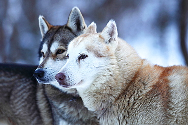 Portrait of two huskys in winter