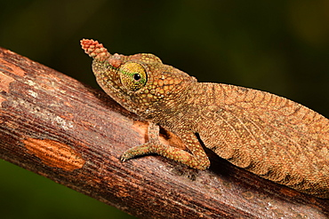 Blade chameleon (Calumma gallus) female on a branch, Andasibe, Périnet, Région Alaotra-Mangoro, Madagascar