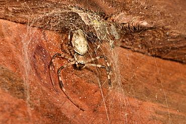 Madagascar Hermit Spider (Nephilingis livida), Andasibe, Périnet, Région Alaotra-Mangoro, Madagascar