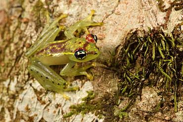 Bott's Bright-eyed Frog (Boophis bottae), Andasibe, Périnet, Région Alaotra-Mangoro, Madagascar