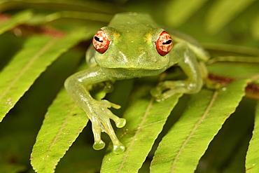 White Lipped frog (Boophis luteus), Andasibe, Périnet, Région Alaotra-Mangoro, Madagascar