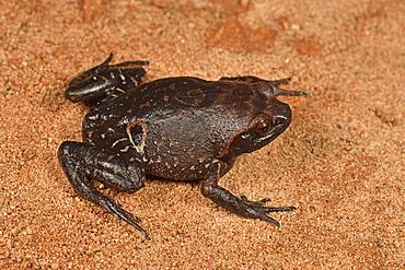 Ocellated Digging Frog (Plethodontohyla ocellata), Andasibe, Périnet, Région Alaotra-Mangoro, Madagascar