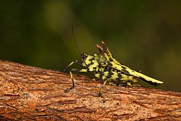 Northern Devil's Pygmy Grasshopper (Holocerus taurus) on a branch, Andasibe, Périnet, Région Alaotra-Mangoro, Madagascar