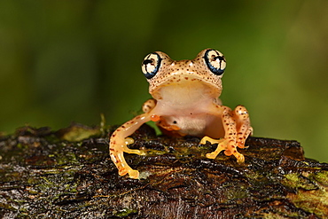 Fiery Bright-eyed Frog (Boophis pyrrhus) in tropical forest, Pangalanes Canal, Ampitabe Lake, Atsinanana Region, Madagascar