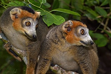 Crowned lemur (Eulemur coronatus) males in the forest, Pangalanes Canal, Ampitabe Lake, Atsinanana Region, Madagascar