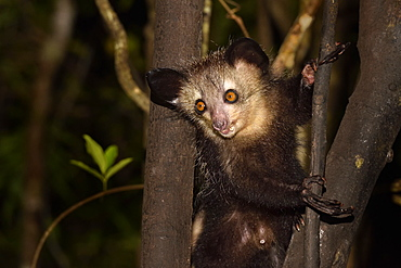 Aye-aye (Daubentonia madagascariensis) in the forest at night, Pangalanes Canal, Ampitabe Lake, Atsinanana Region, Madagascar