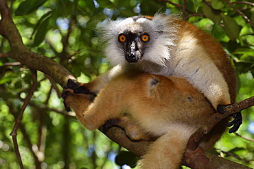 female in the forest, Pangalanes Canal, Ampitabe Lake, Atsinanana Region, Madagascar
