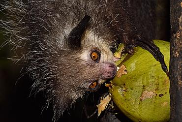 Aye-aye (Daubentonia madagascariensis) in the forest at night, under the tropical rain, eating a coconut, Pangalanes Canal, Ampitabe Lake, Atsinanana Region, Madagascar