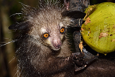 Aye-aye (Daubentonia madagascariensis) in the forest at night, under the tropical rain, eating a coconut, Pangalanes Canal, Ampitabe Lake, Atsinanana Region, Madagascar