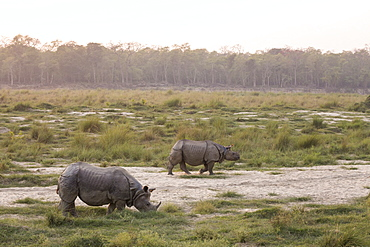Greater One-horned Rhino (Rhinoceros unicornis) two at sunset, Chitwan National Park, Nepal